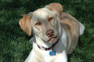 yellow Labrador Retriever - Nicki