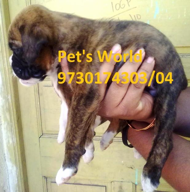 ... PETS-WORLD-BRINDLE-COLOR-BOXER-PUPPIES-FOR-SALE-IN-PUNE-For-Sale_2.jpg