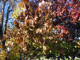 サンシュユの葉の紅葉