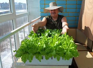 Салат и шпинат поспели