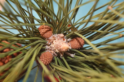 pine, сосна