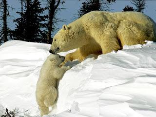 Foto Beruang Kutub dengan Anaknya