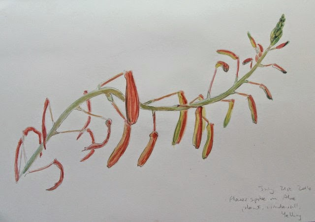 Aloe plant flower watercolour study