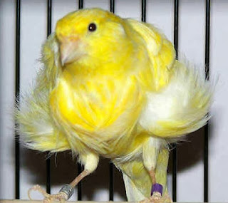 KENARI FRILL DARI BELANDA (NORTHERN DUTCH FRILLED CANARY)