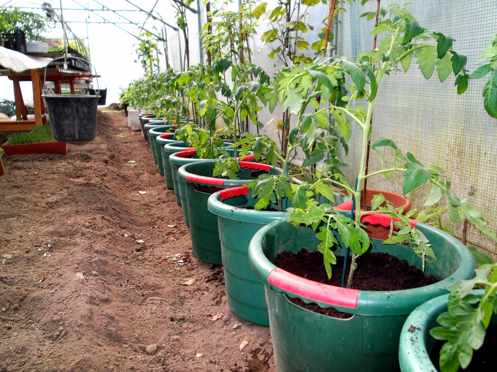 passion tomates tomates greffees en pot plantees ce jour. Black Bedroom Furniture Sets. Home Design Ideas