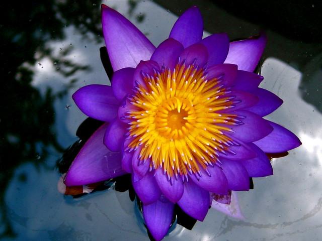 Welcome to my blog symbol of lotus flowers purple lotus mightylinksfo