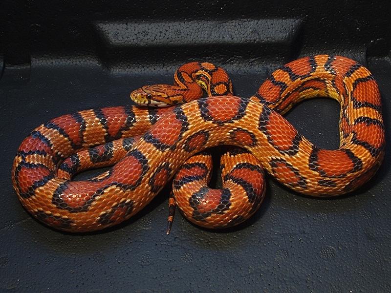 Fluorescent Orange Corn Snake And I Think to ...