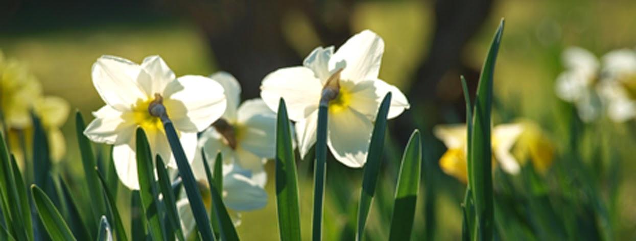 Påskeliljer i solen