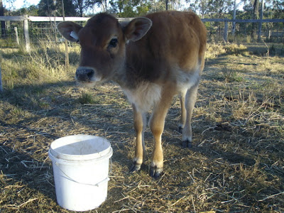 eight acres: how to bottle feed a calf