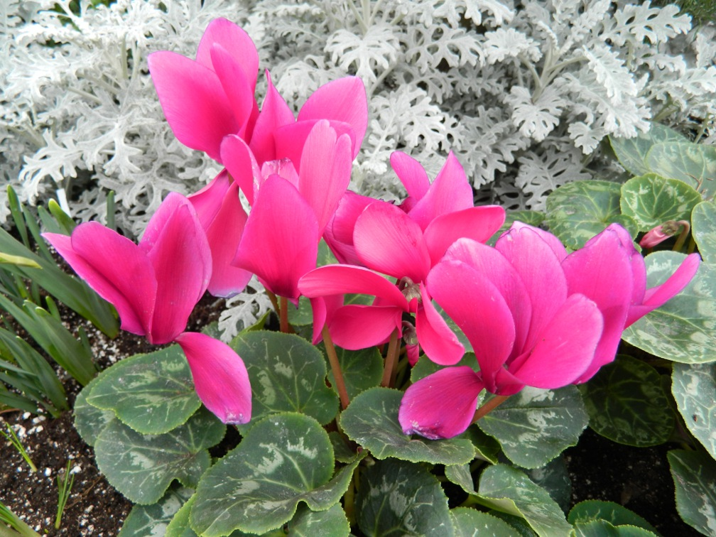 Pink cyclamen in front of silver dusty miller at the Toronto Allan Gardens Conservatory Spring Flower Show 2013 by garden muses: a Toronto gardening blog