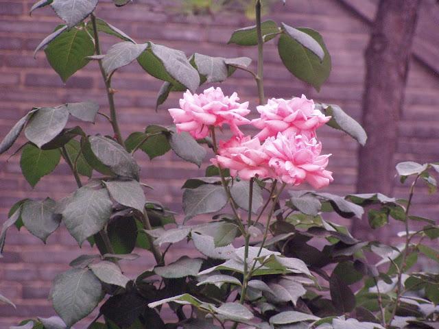 Rose garden Xian