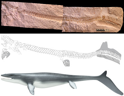 Mosasaur fossil proves the early lizards swam like sharks