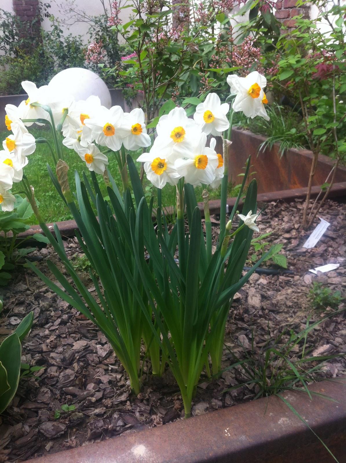 Giardino metropolitano tulipani e narcisi in fiore for Fiori bulbi