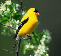 goldfinch bird