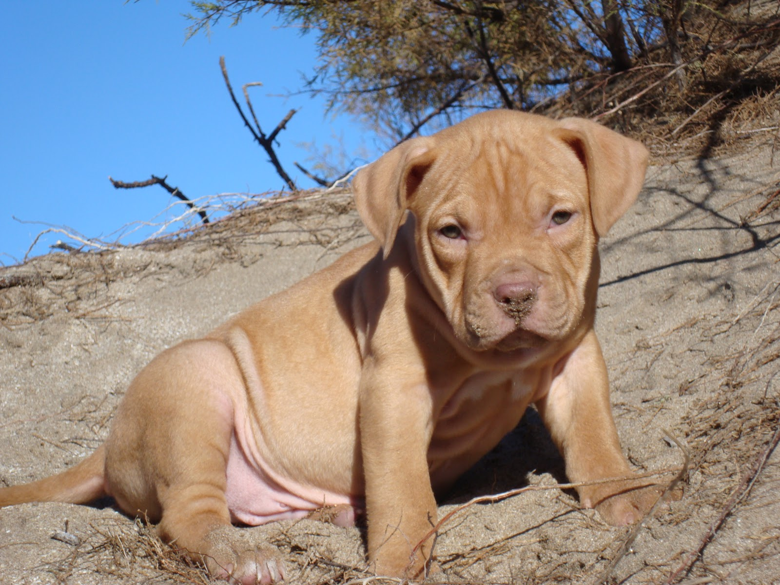 Big head badass pitbulls Pinterest Dog, Terrier and Animal Pictures of big head pitbulls