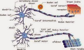 sel saraf (neuron)