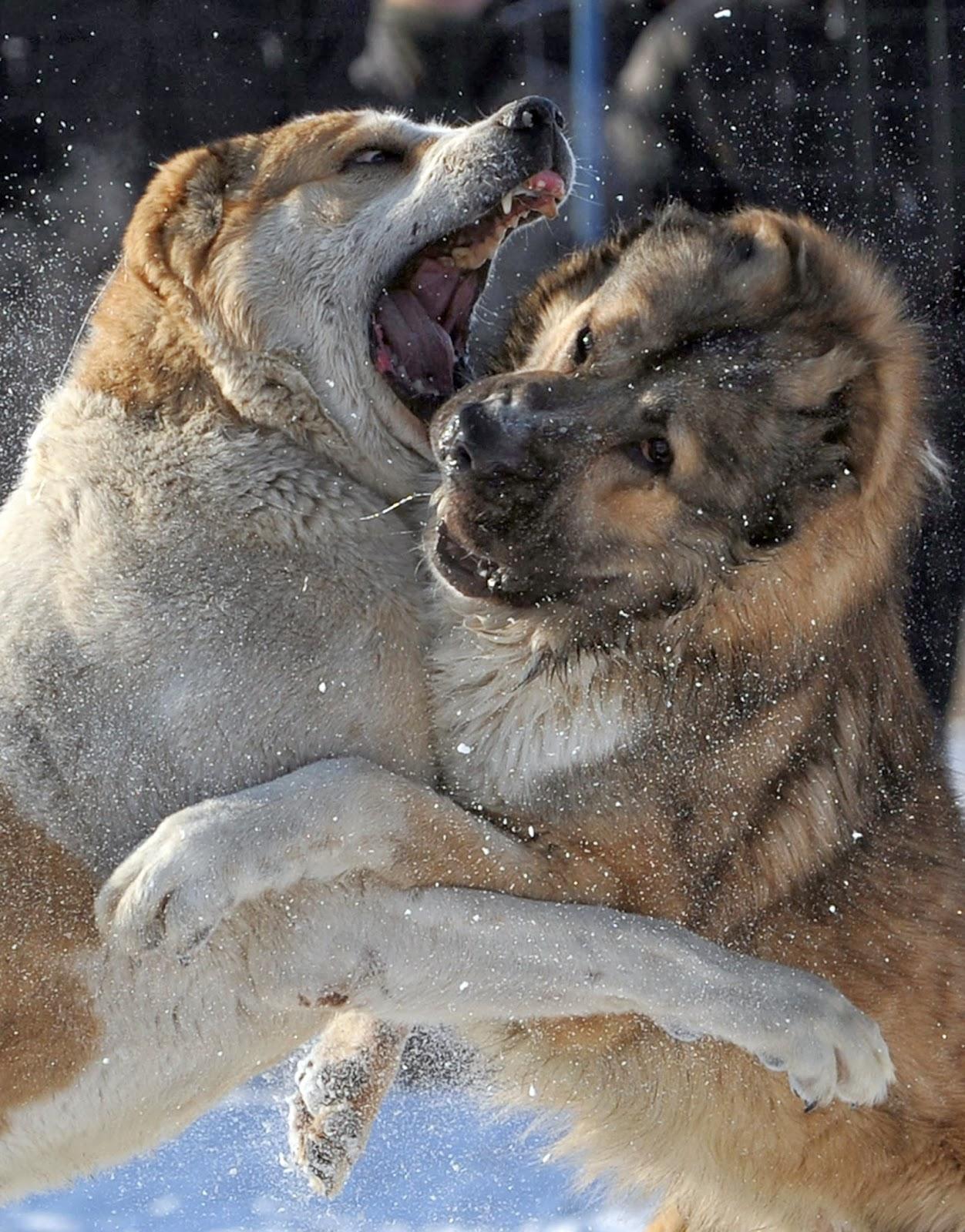 Animals, Asia, Bishkek, Breed, Dog, Dog breeders Club, Fight, Kyrgyzstan, News, Offbeat, Owner, Shepherd, Sports, Stadium, Wolf, Wolfhound, World, Wolfhound Fight