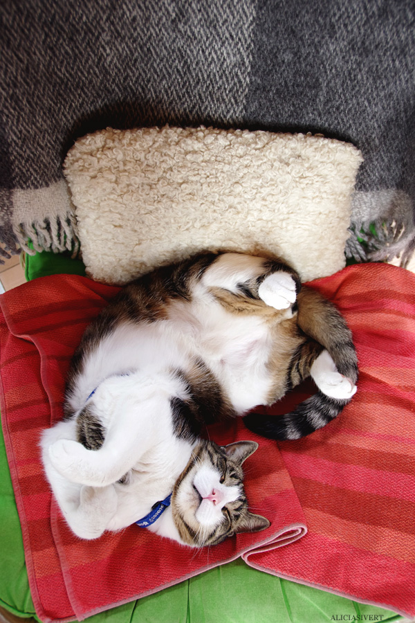aliciasivert, alicia sivertsson, alicia sivert, gotland, semesterlivet, semester, cat, katt, teno, tno, sleeping, sovande katt, blanket, filt, gos, mys