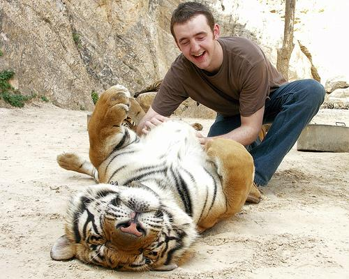 Pet tigers and get up close and personal with them in Koh Samui    Zoologist With Tiger