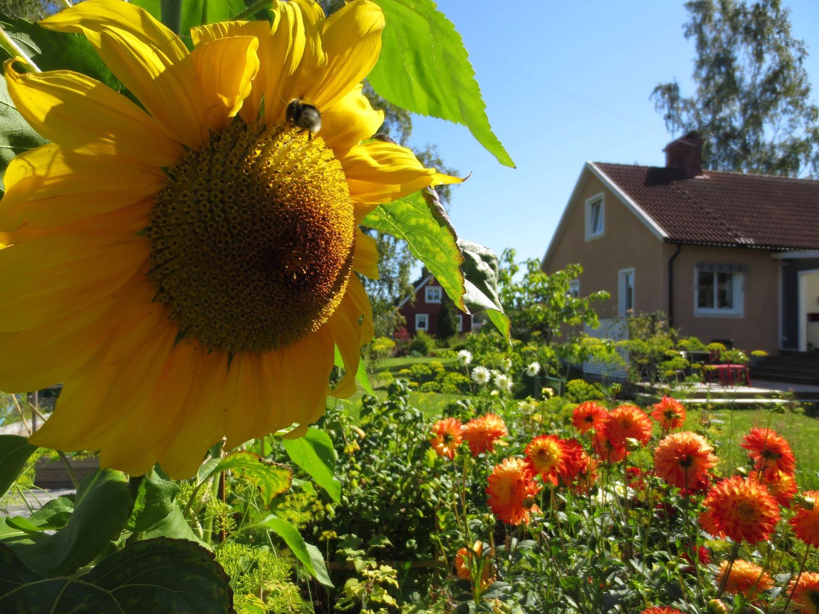 Har sommarblommor och dahlior i trädgårdslandet