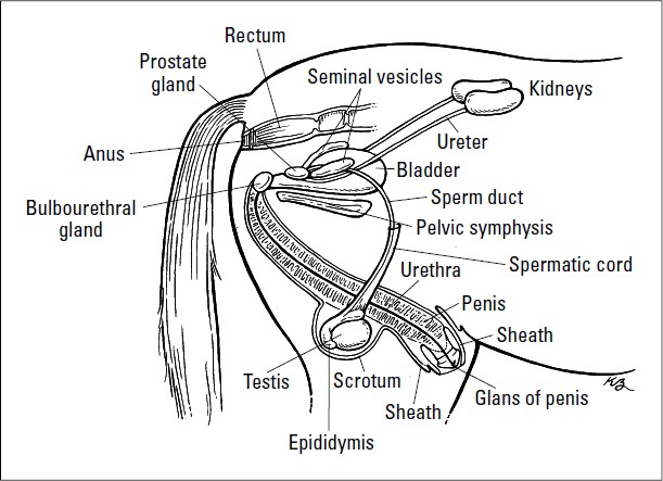 Stallion reproductive tract diagram search for wiring diagrams famous stallion reproductive anatomy photos anatomy and physiology rh stockmarketresources info amre reproductive tract horse reproductive system function ccuart Choice Image