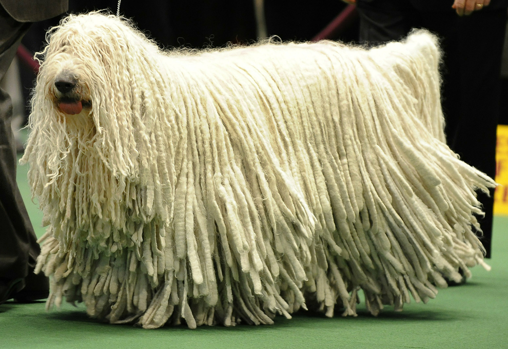 Dog breed that looks like a mop