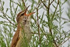 41c. Reed Warblers