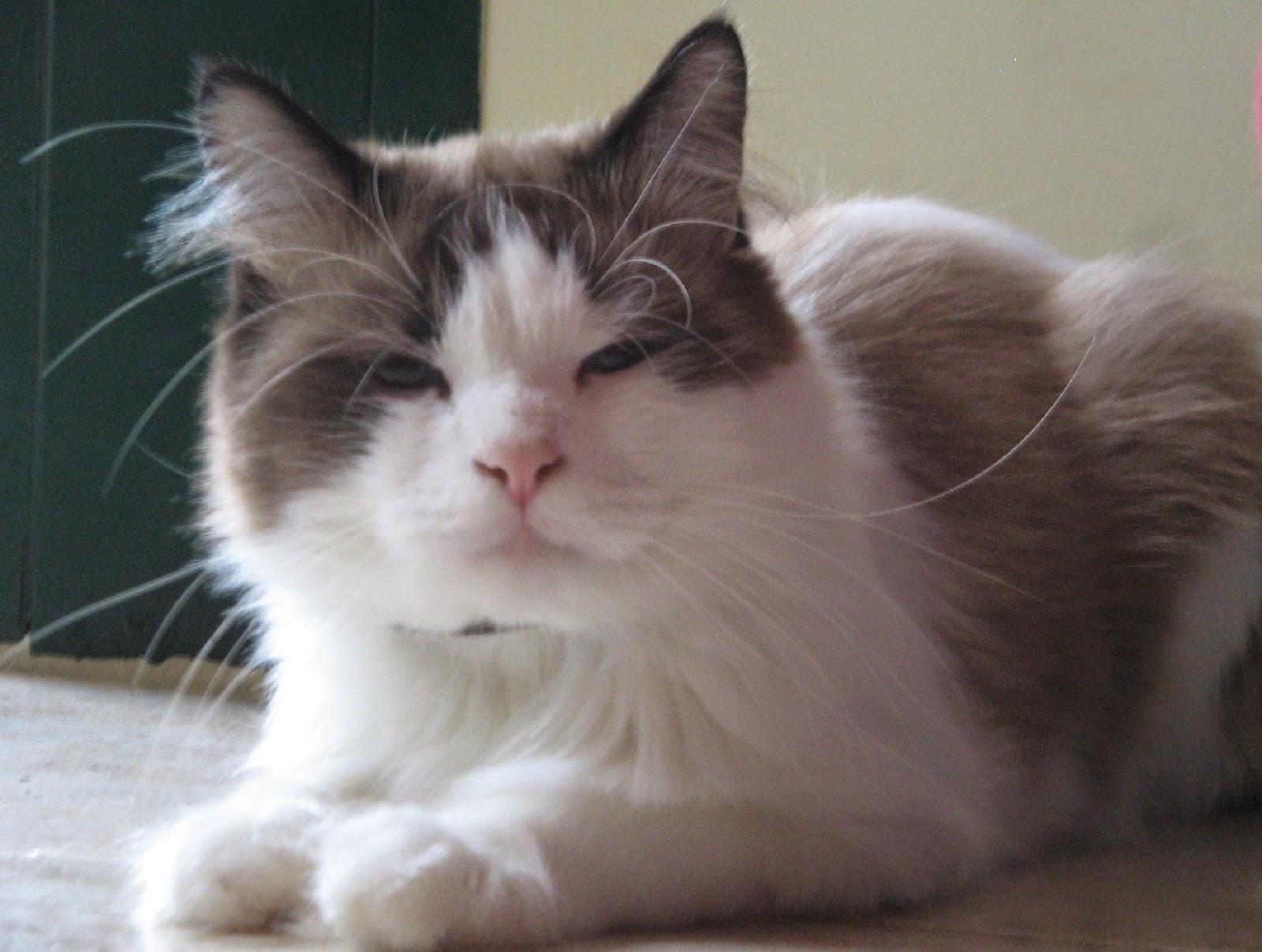 Rasgos fisicos de los gatos angora