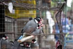 burung glatik