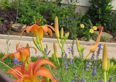 Annieinaustin, orange daylilies, larkspur, salvia, rainchain