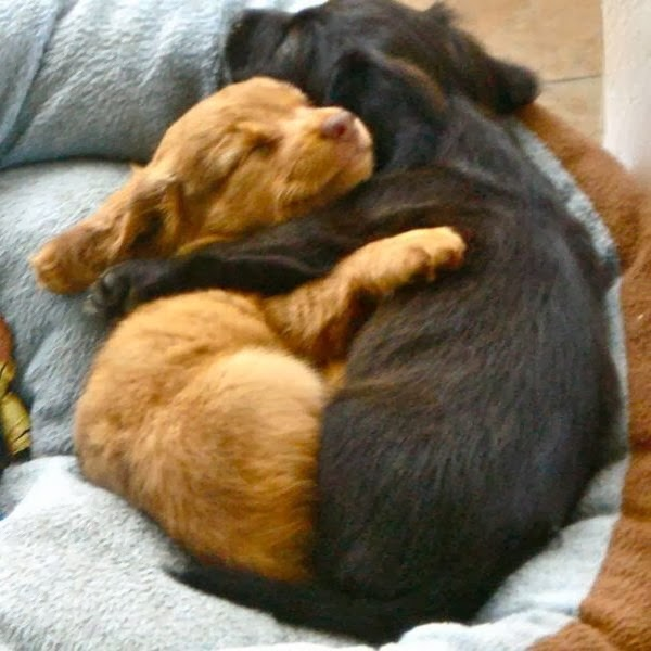Cute dogs - part 8 (50 pics), puppies sleeping and hugging