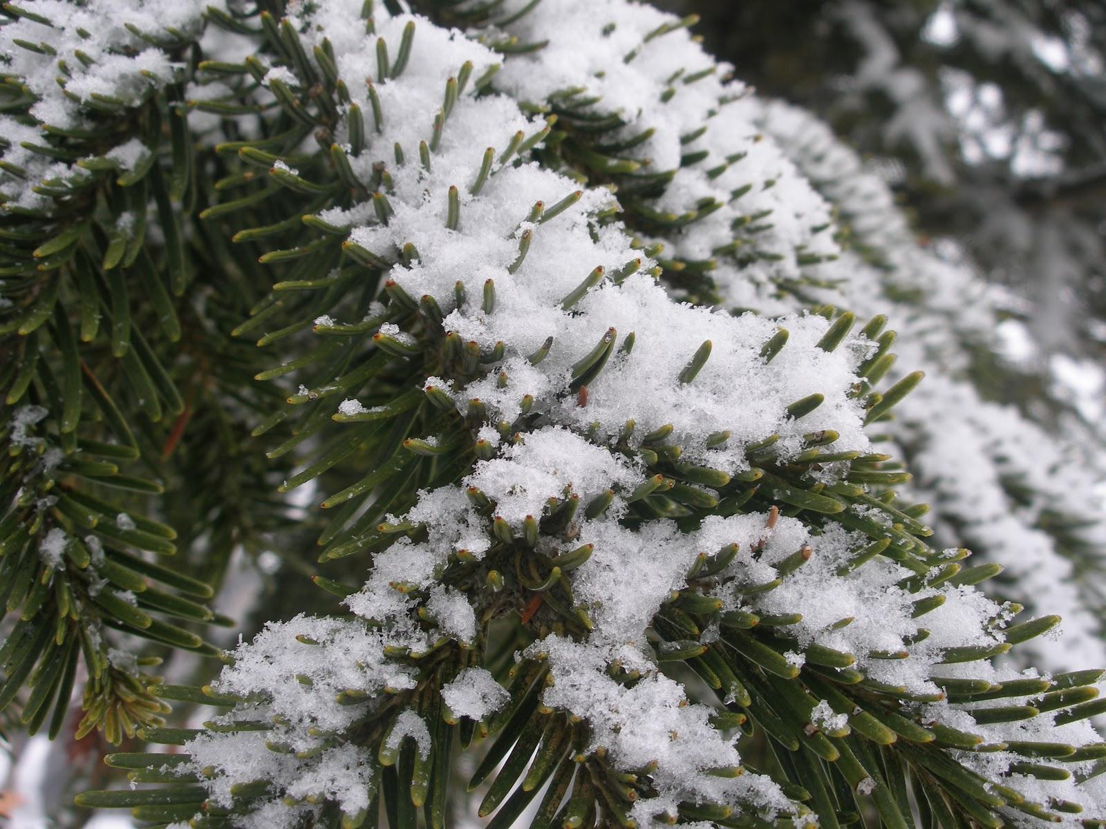 Φυτεύω κωνοφόρα το χειμώνα: έλατο