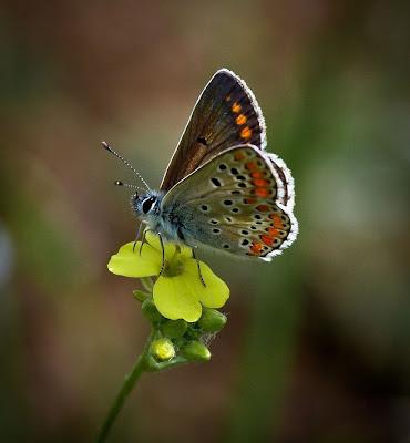 Hermosa mariposa sobre una flor - Butterfly