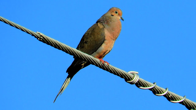 Mourning Dove Coo Call