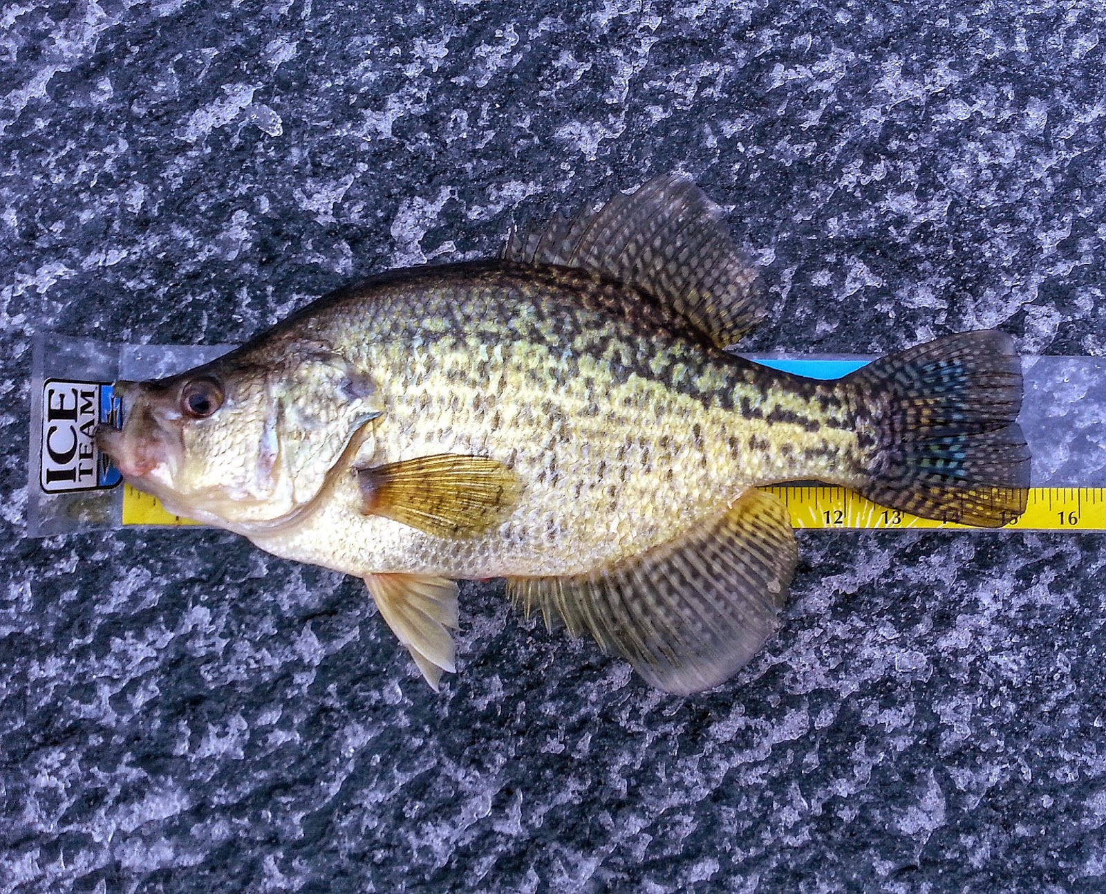 Everything ice fishing reflections 2013 2014 for Crappie ice fishing