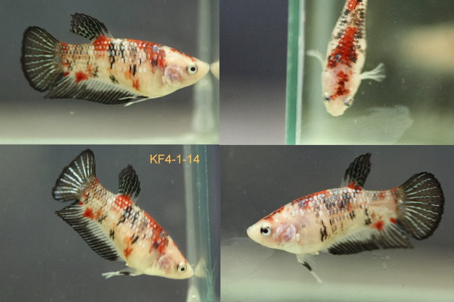 Bettazone betta of the week female koi for Female betta fish names
