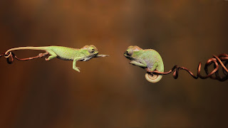 Chameleons Reptiles Twigs Love Photo HD Wallpaper