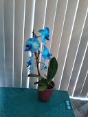My Beautiful Blue Orchid