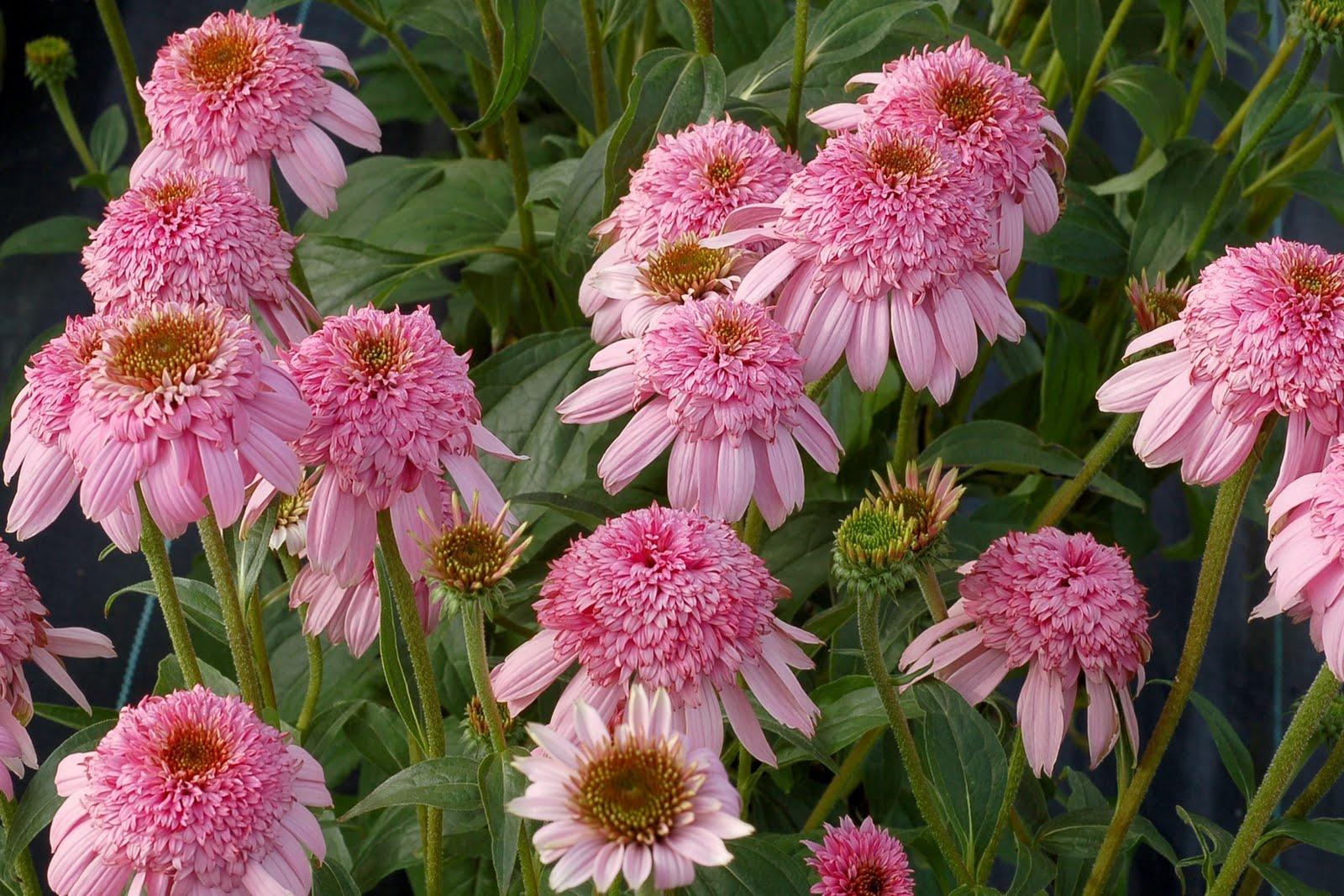 Coneflower Echinacea Secret Romance