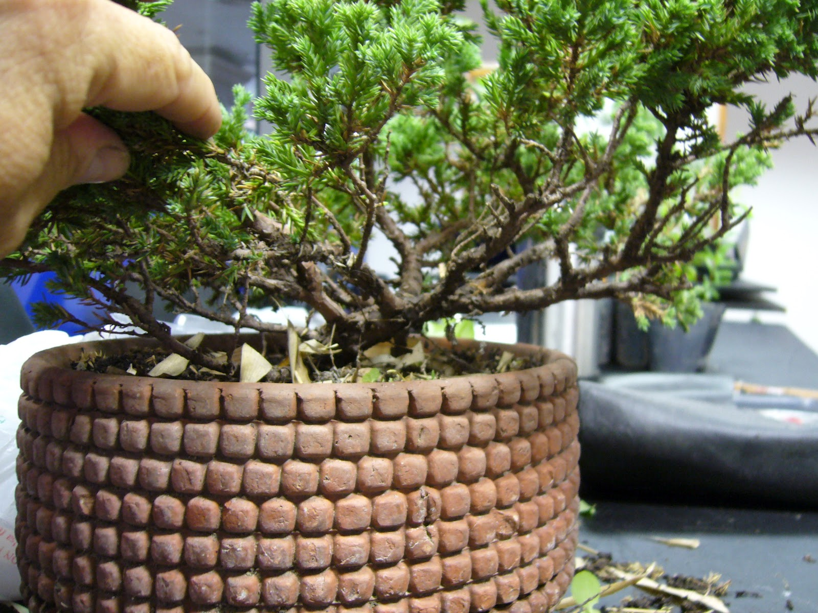 Mrtree Argentina Bonsai Study Group Five Up The Bonsai Blog