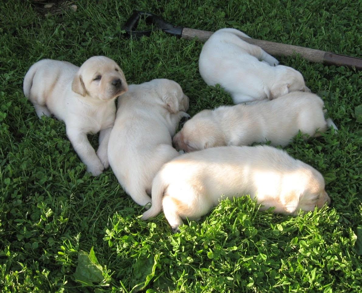Nicki and Deuce's Puppies 3 weeks old