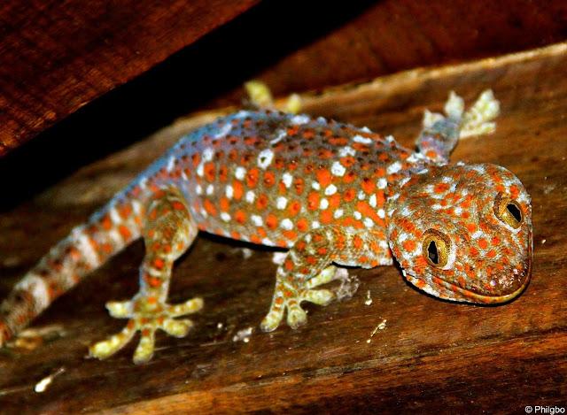 Tokay, ou gros Gecko en Thailande
