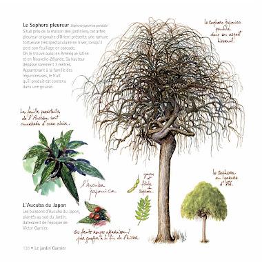Le sophora du jardin Garnier