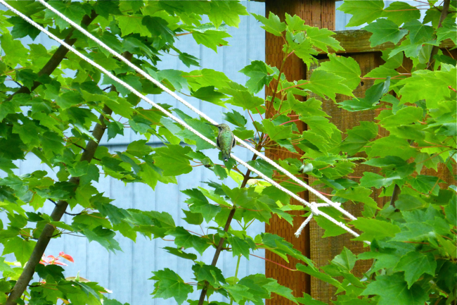 Hummingbird, camouflage, maple tree, summer
