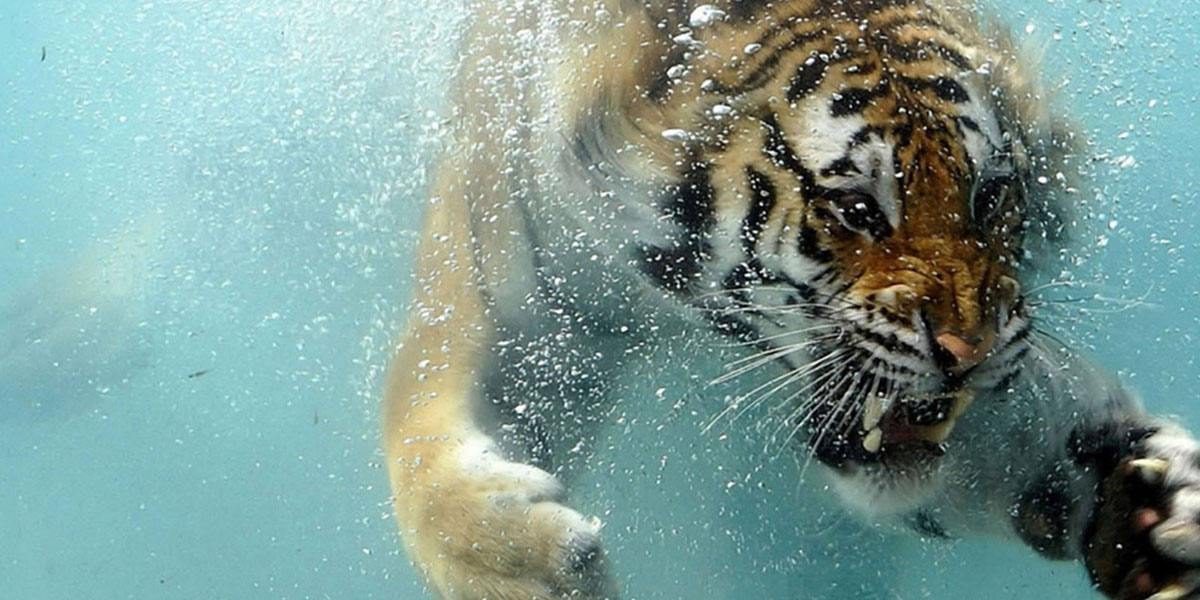 Tigers Underwater l 300+ Muhteşem HD Twitter Kapak Fotoğrafları