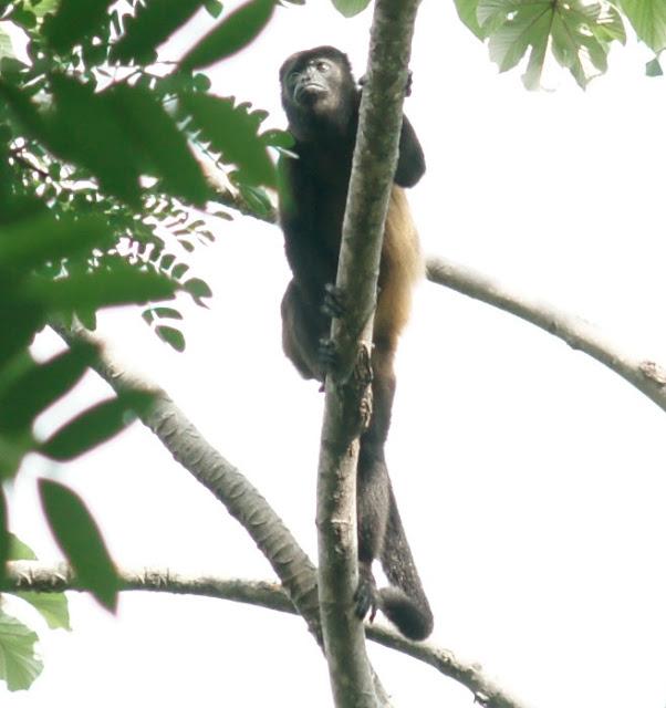 howler monkey Nicaragua
