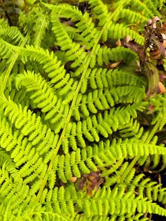 photo of fern by Nancy Zavada