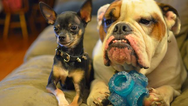 Hermosos Perritos Chihuahua con su amigo - Chihuahueños
