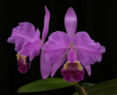 São Carlos-SP- A Capital Brasileira das Orquídeas Estrangeiras