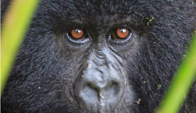 berita lucu gorila